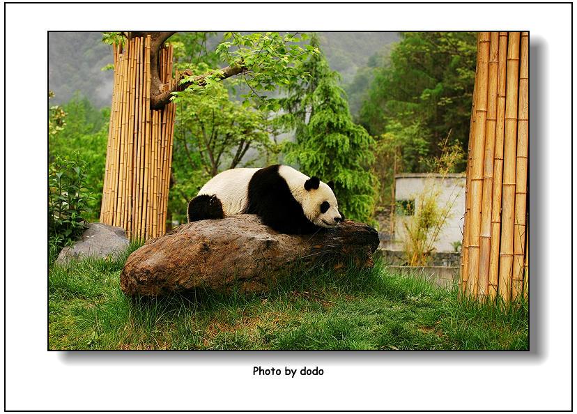 可爱的大熊猫---梦幻香格里拉之一
