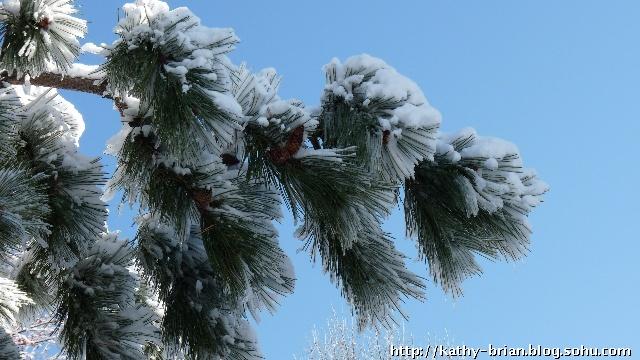 松树上的积雪