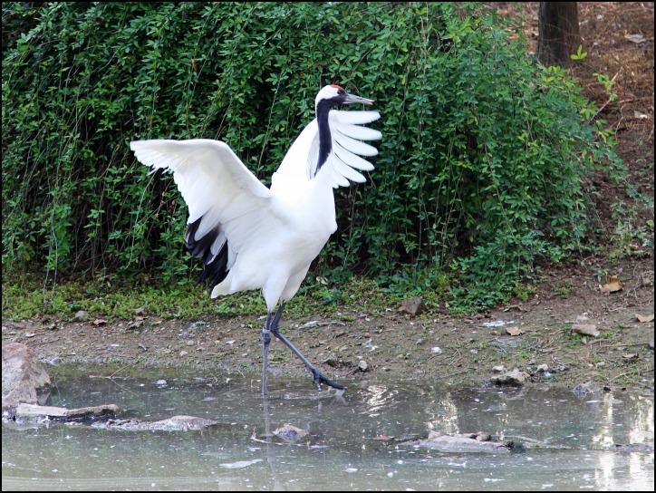 —2011金秋上海行之五 文,图 /  两条蛇         鹤在候鸟中是最