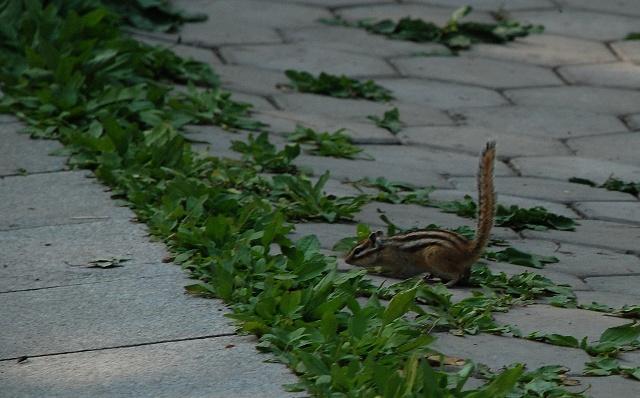突然看见一只穿着褐色外套,背部黑色条纹,酷似松鼠的东西窜动,等它停