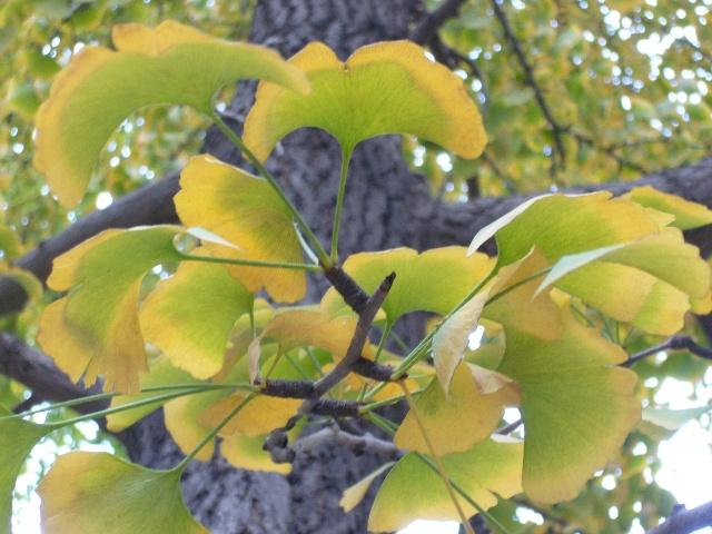 银杏树树叶mm小扇子形状