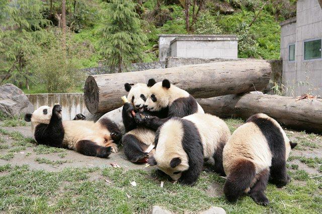 看到一组很可爱的熊猫的照片,听说震后灾区一度没有了竹子,熊猫们