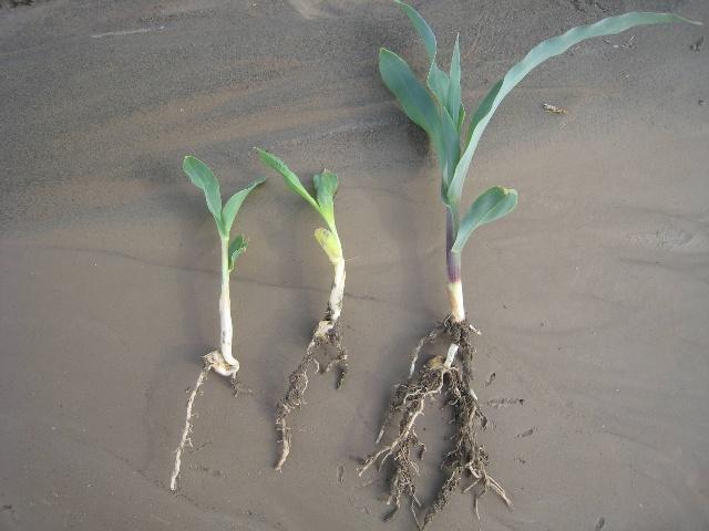 玉米根结构图解