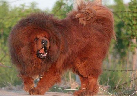 丹地丁蒙埂/西藏埂  64.比利牛斯山犬