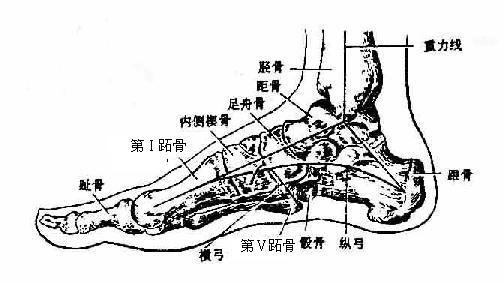 足部骨骼结构图