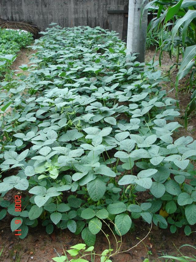 黄豆的生长过程 16
