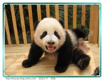 这些小熊猫太可爱了