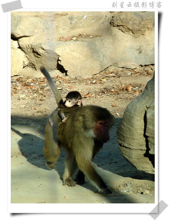 相依为命的狒狒母子(可爱的动物摄影126)