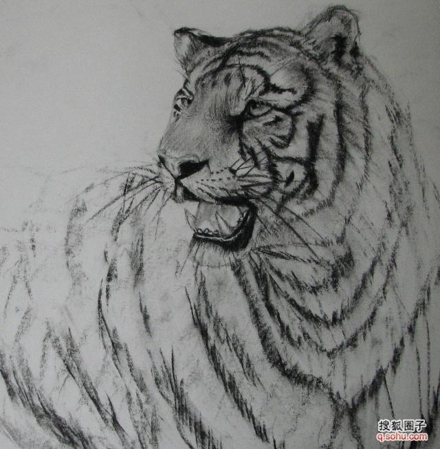 老虎素描 了了画圈