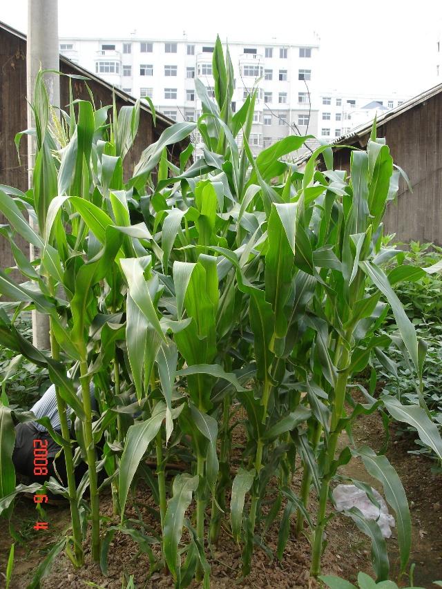 彩玉米的生长过程 13