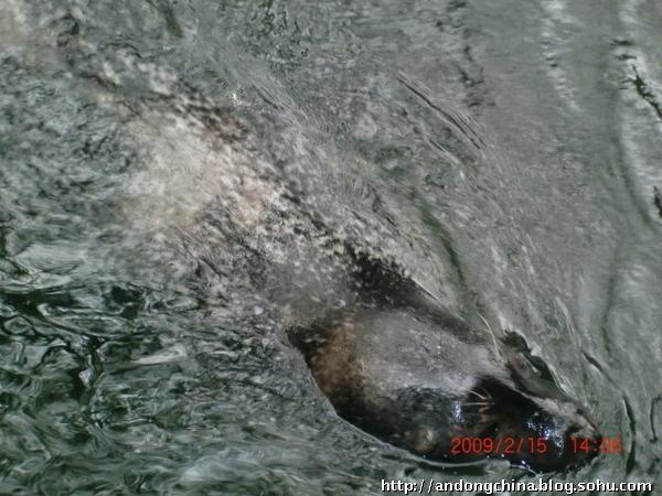 济南动物园的海豹