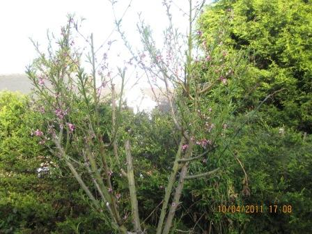 后院里种了棵桃树,好几年了,树枝繁茂,花儿也没少开,可结果不多.